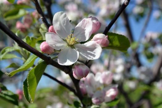 appleblossoms15b