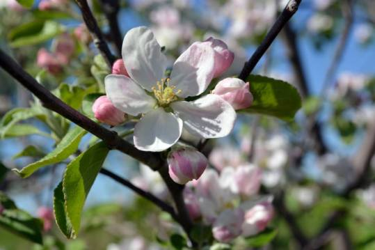 appleblossoms15b