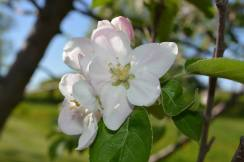 appleblossoms15d