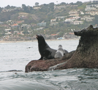 La Jolla Cove Sea Lions