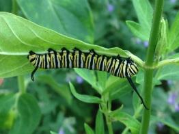 monarchlarva15