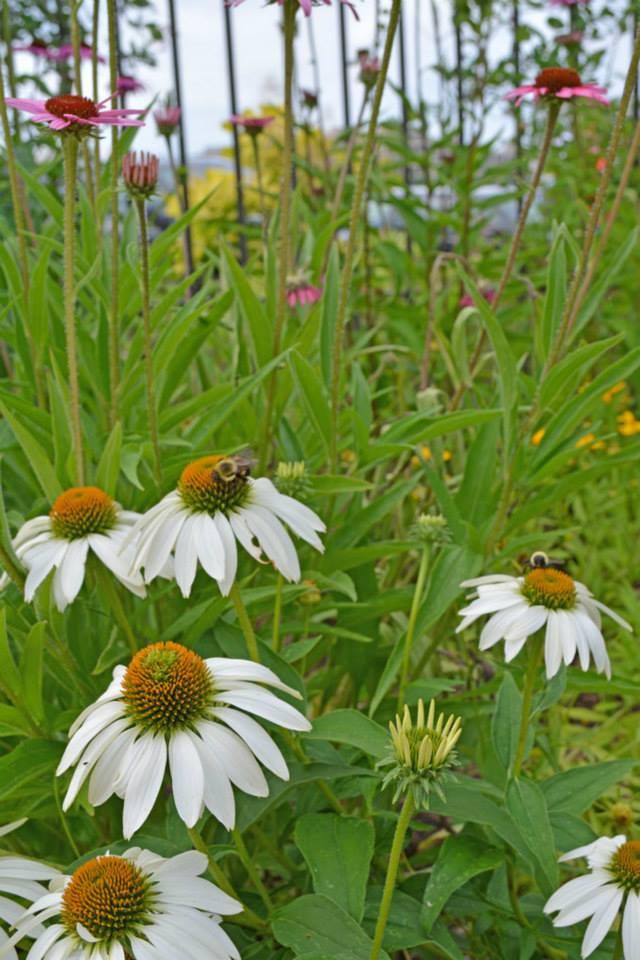 beeonconflower
