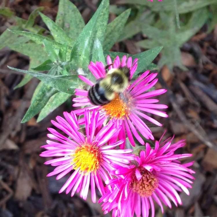 Bumblebeeonasters