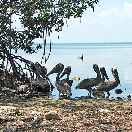 pelicanbrigade