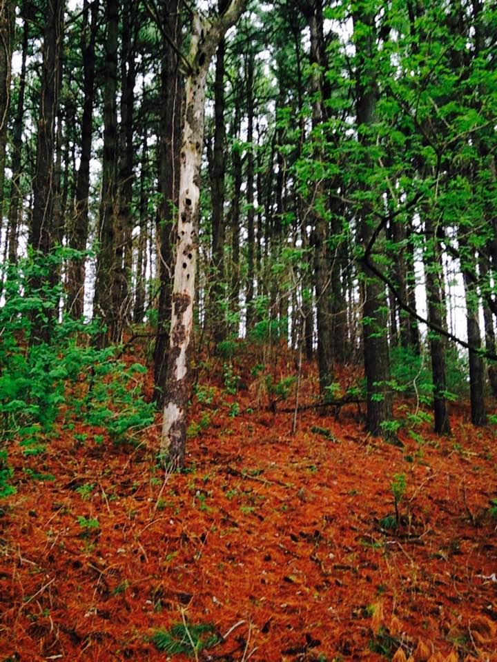 Forest behind Evergreen