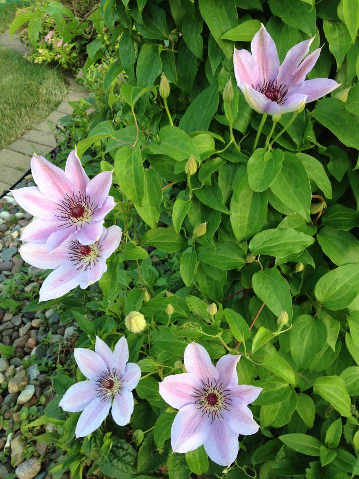 Front Yard Clematis