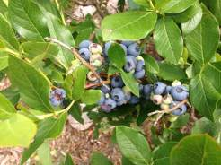 blueberries2017