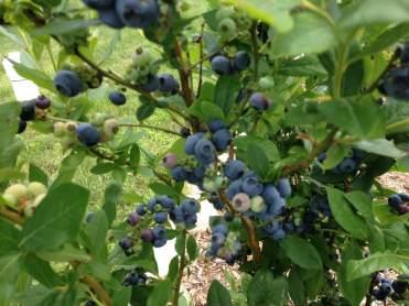 blueberriesb2017