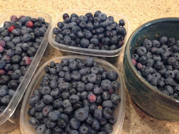 blueberry harvest17