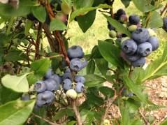 blueberry harvest2017