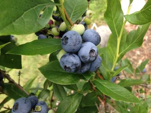 blueberryharvest2017