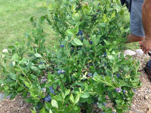 blueberrypicking in the yard17