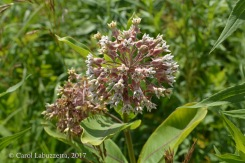 Common Milkweed HSP