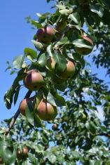 Pears 2017