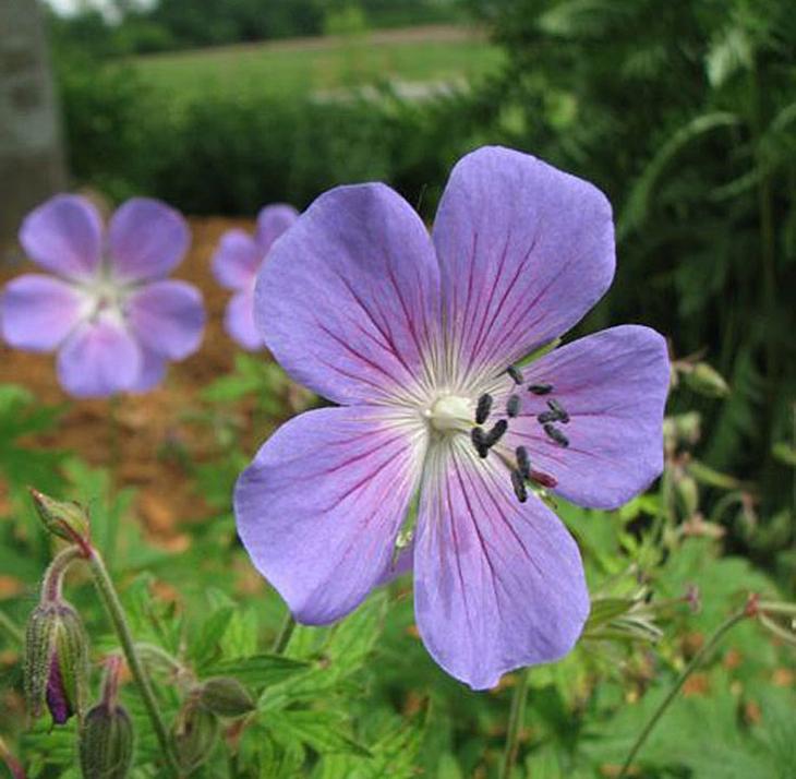 johnson's-blue-geraniumhighres
