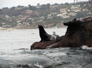 Sea Lions at La Jolla Cove, La Jolla California 2010 © Carol Labuzzetta