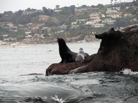 Sea Lions at La Jolla Cove, La Jolla California 2010 © Carol Labuzzetta