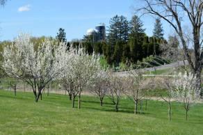 Backyard Apple Orchard