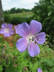 johnson's-blue-geranium