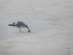 seagullfoodbeachinholland