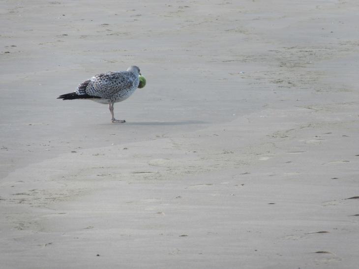 seagullfoodtwoholland2016