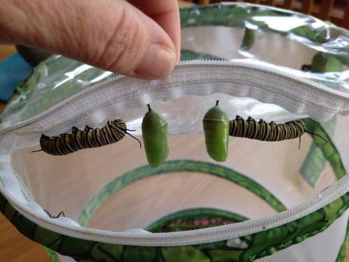 two chrysali and two larvae