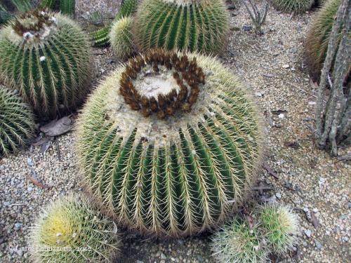 barrelcactussandiegozoowm