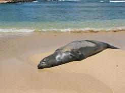 Unexpected: A sea lion asleep on the Beach on Kauai. © Carol Labuzzetta, 2013