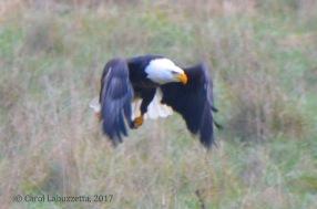 eagletakingoff
