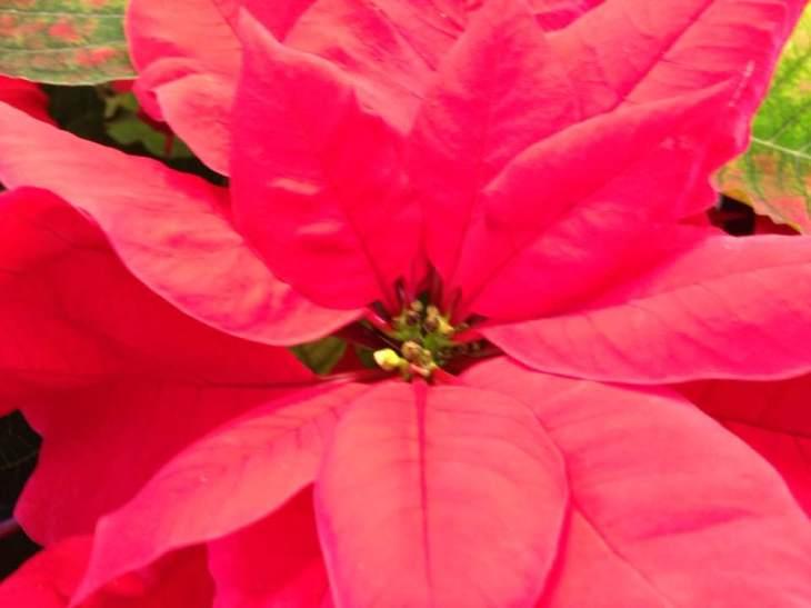 poinsetta flower 17