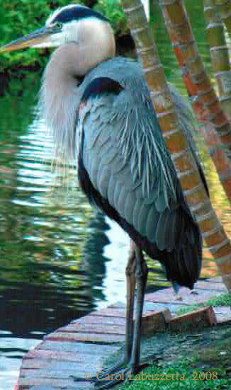GreatBlueHeron08