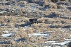 cougarinthecoulee2