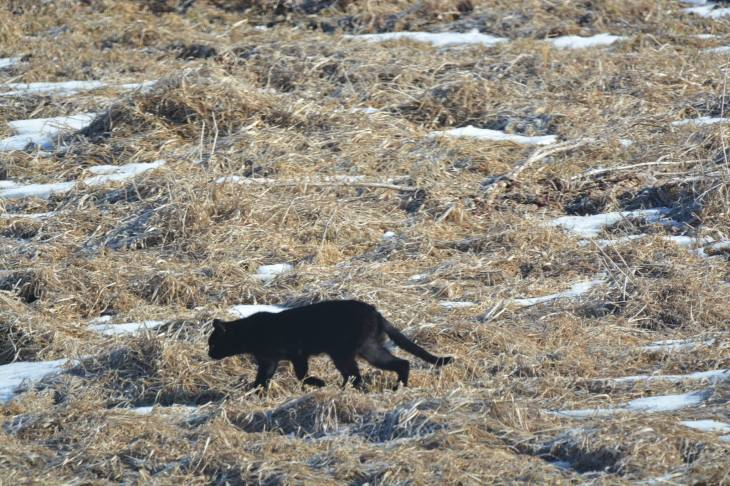 CougarintheCoulee3