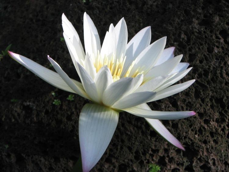 lily on lava Mauai 2010