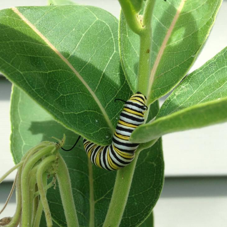 monarchlarvasummer15