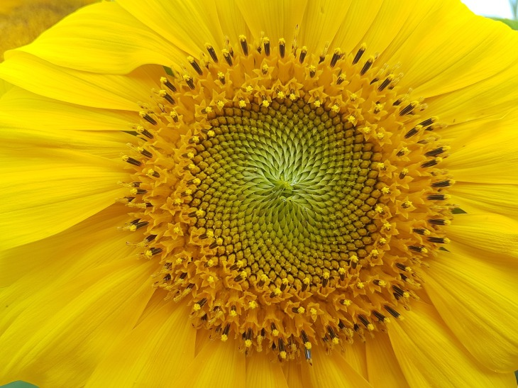 pixabaysunfloweragriculture-2676644_1920