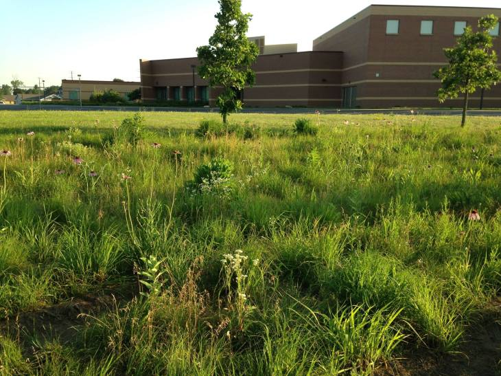 prairieview milkweed