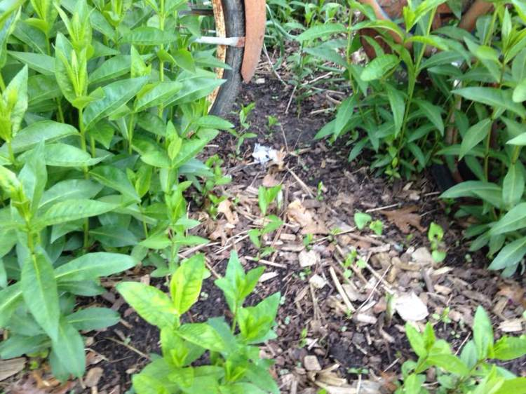 Milkweed germinating Spring 2018