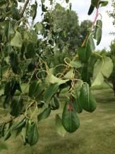 curly pear tree leaves