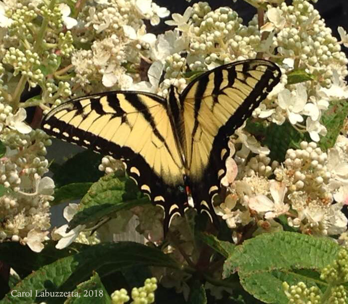 EasternTigerSwallowtail