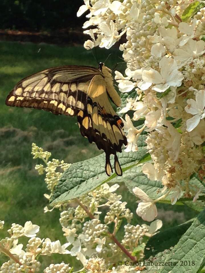 Swallowtail2-2018