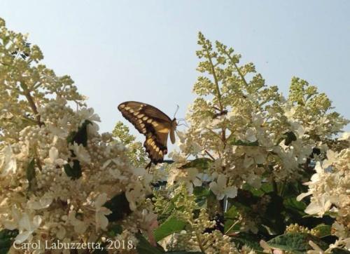 SwallowtailinAugust18