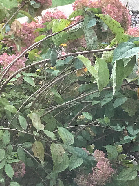 hummingbirdcamo3