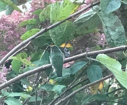 hummingbirdcamophlagelookout