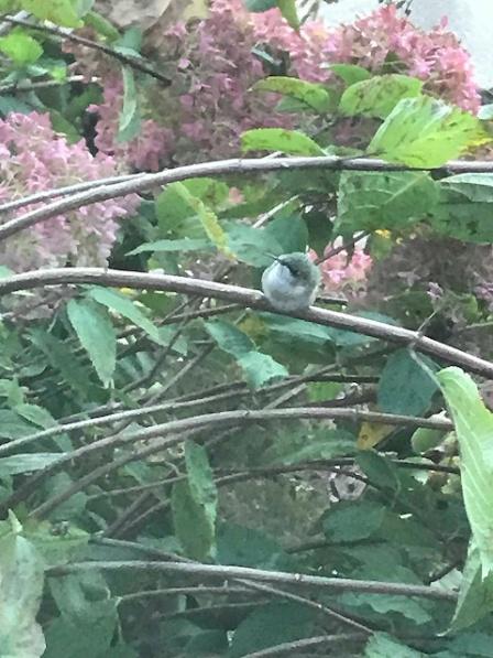 Hummingbirdsideshot