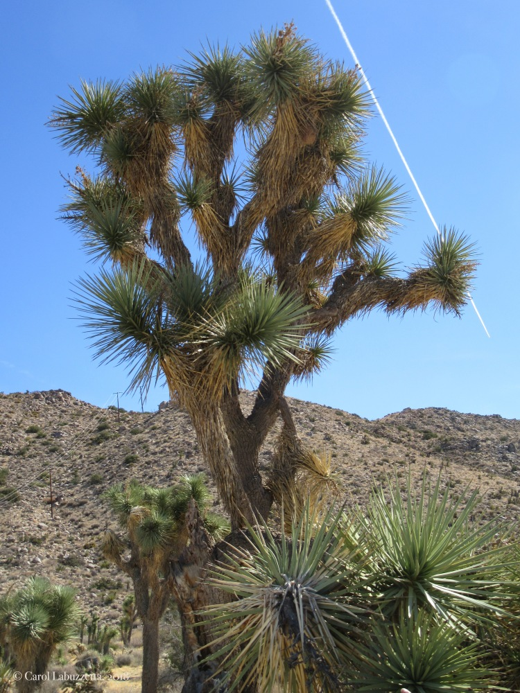 The Joshua Tree in the JTNPwm