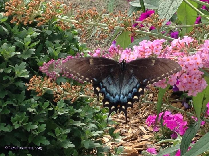 swallowtailonbuddelia15wm
