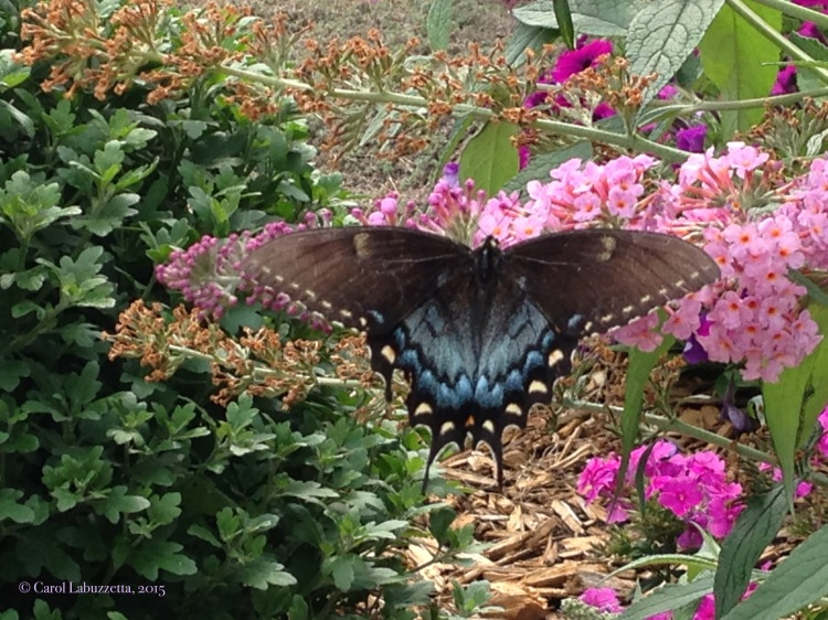 swallowtailonbuddelia15wm