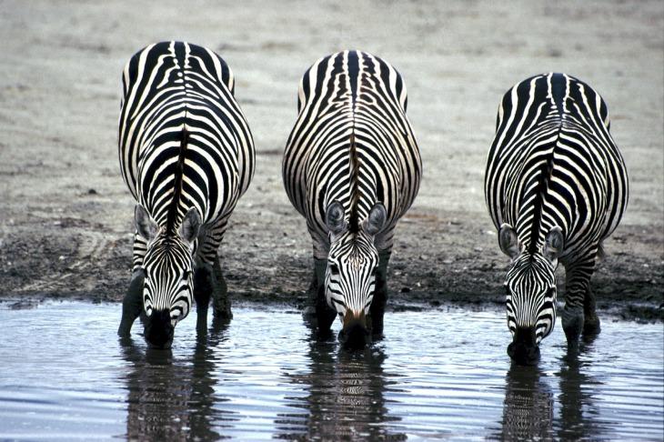 zebras-606867_1920