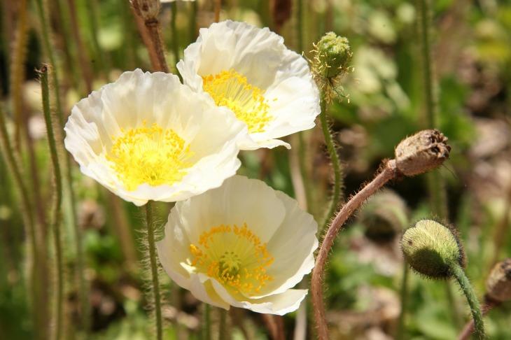 poppy-1409930_1920.jpg